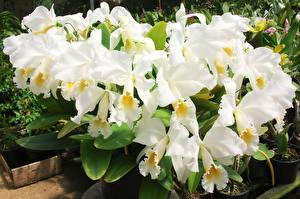 Фото Орхидея Белый Цветы