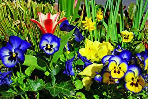 Картинка Фиалка трёхцветная Вблизи Цветы