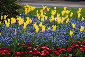 Обои Парки Тюльпаны Маргаритка Lobelia