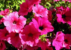 Картинка Петунья Крупным планом Розовые цветок