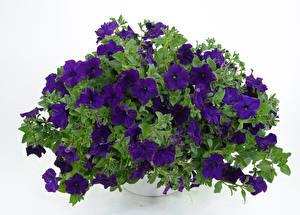 Картинки Петунья Белый фон Фиолетовый Цветы