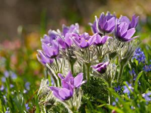 Фотография Прострел Крупным планом Фиолетовая Цветы