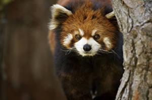 Обои Малая панда Взгляд Животные