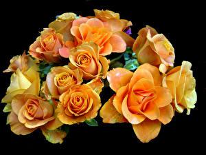 Обои Розы Крупным планом Черный фон Желтый Цветы картинки