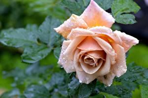 Фотографии Розы Крупным планом Капли Цветы