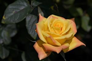 Фотографии Розы Вблизи Желтый