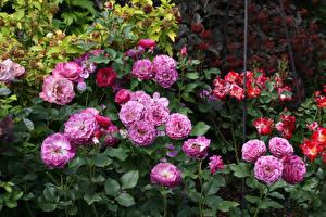 Картинки Розы Листва Цветы