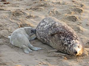 Картинка Морские котики Детеныши Берег 2 Песок Животные