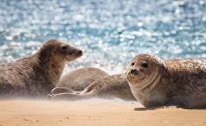 Картинки Морские котики Песок