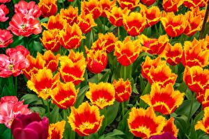 Картинки Тюльпаны Крупным планом