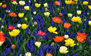 Картинки Тюльпаны Гиацинты Много Цветы