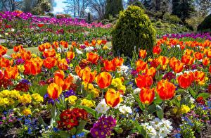 Картинки Великобритания Сады Тюльпаны Уэльс Swansea Botanic Gardens Цветы