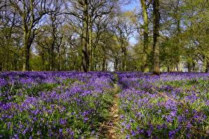 Фотография Великобритания Весна Леса Колокольчики - Цветы Деревья Felley Priory Природа