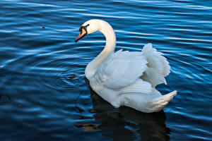 Картинки Вода Птицы Лебеди