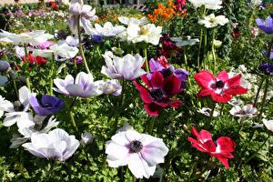 Картинка Анемоны Крупным планом Цветы