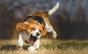 Обои Собака Бигль Траве Бежит Мяч