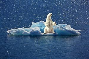 Фотографии Медведи Полярный Лед