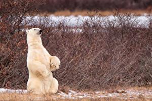 Картинка Медведи Северный Сидит