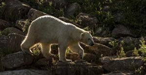 Картинка Медведи Полярный Камни