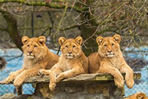 Обои Большие кошки Львы Львица Втроем Смотрит Животные