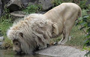 Фотографии Большие кошки Лев Белый Пьет воду животное