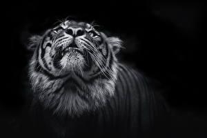 Обои Большие кошки Тигры Черный фон Морда Усы Вибриссы животное