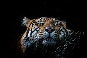 Фотография Большие кошки Тигры На черном фоне Морды Усы Вибриссы Сон Животные
