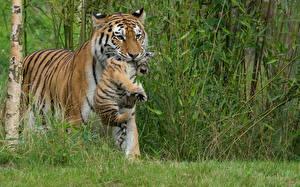 Фото Большие кошки Тигры Детеныши 2
