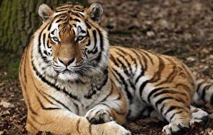 Обои Большие кошки Тигры Смотрит Животные