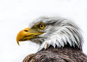 Картинки Птицы Ястреб Клюв Голова Белоголовый орлан Белый фон