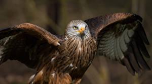 Фотографии Птицы Крылья Milvus Животные