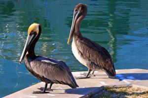 Обои Птицы Пеликаны Вода Двое Животные