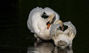 Картинка Птицы Лебеди Вода Черный фон 2 Животные