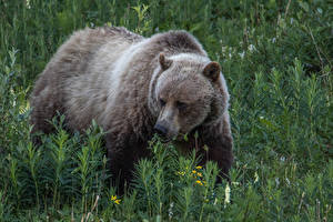 Картинка Медведи Гризли Трава Животные