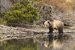 Картинки Медведи Гризли Вода