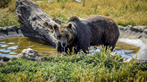 Картинка Медведи Бурые Медведи Вода