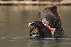 Обои Медведи Гризли Вода Рыбы Животные