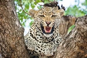 Картинка Клыки Леопарды Оскал Взгляд Животные