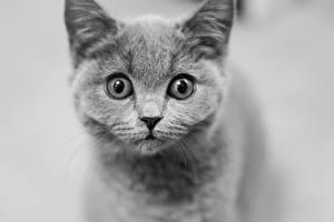 Обои Коты Черно белое Смотрит Морда