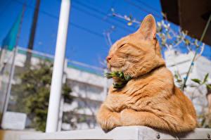 Картинка Кошки Рыжий Животные