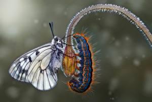 Картинка Вблизи Бабочки Гусеницы Животные
