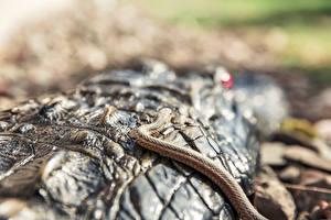 Фотография Крупным планом Крокодилы Змеи