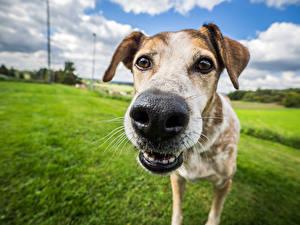 Фото Крупным планом Собаки Носа Морды Взгляд Животные