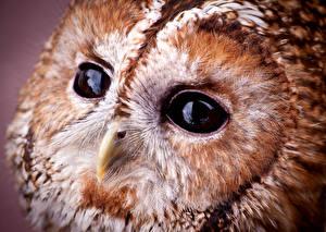 Фотография Крупным планом Макросъёмка Глаза Совообразные Птицы Клюв Tawny owl Животные