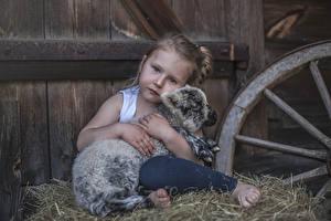 Картинка Детеныши Овцы Девочки Смотрит Сидящие Сено Ребёнок