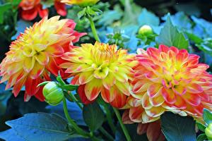 Фото Георгины Крупным планом Бутон Цветы