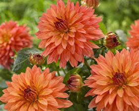 Картинки Георгины Вблизи Оранжевый Цветы
