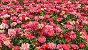 Обои Георгины Много Крупным планом Розовый Цветы