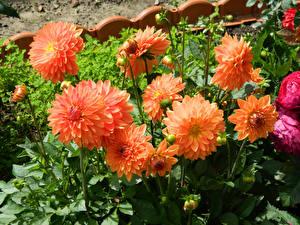 Картинка Георгины Оранжевый Цветы