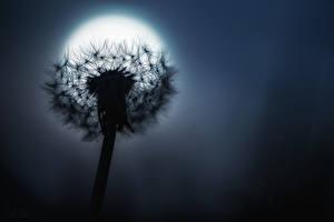 Фотография Одуванчики Вблизи Ночь Луна